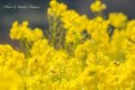 【菜の花見ごろ】 道の駅 笠岡ベイファーム~黄色い春の訪れ~/岡山県笠岡市