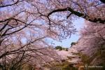 【福山市桜】 2019おすすめ、お花見桜スポット~福山市編~/広島県福山市