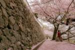 鞆の浦 医王寺〜2016桜絨毯〜