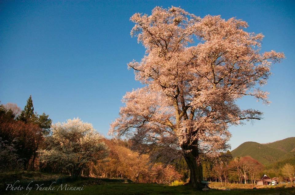 【千鳥別尺のヤマザクラ】 樹齢500年のヤマザクラ、桜ライトアップも??/広島県庄原市