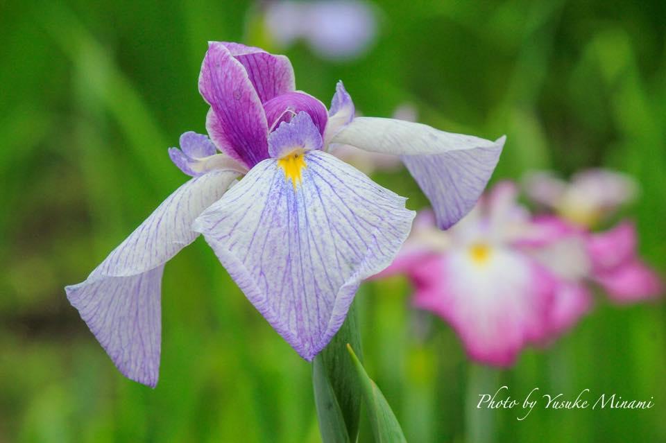 福山市沼隈町にある平家谷 花しょうぶ園が6月4日に開園!!