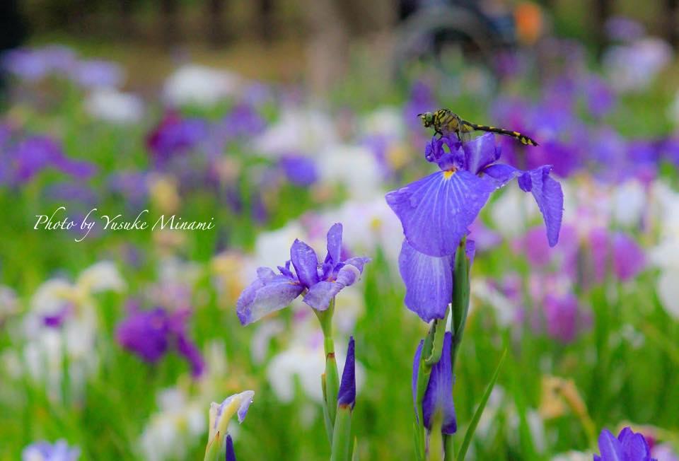 春日池公園に咲く菖蒲園と紫陽花が見ごろ/広島県福山市春日町