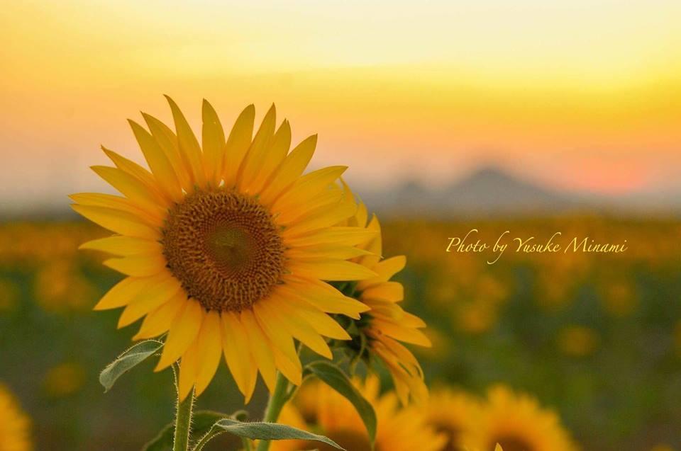 【8月ひまわり】 笠岡ベイファームに咲くひまわりが見ごろ!!岡山県笠岡市