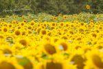 【夏の世羅高原農場2017】満開のひまわりが8月20日まで見ごろ、100万本のひまわりがお出迎え/広島県世羅郡世羅町