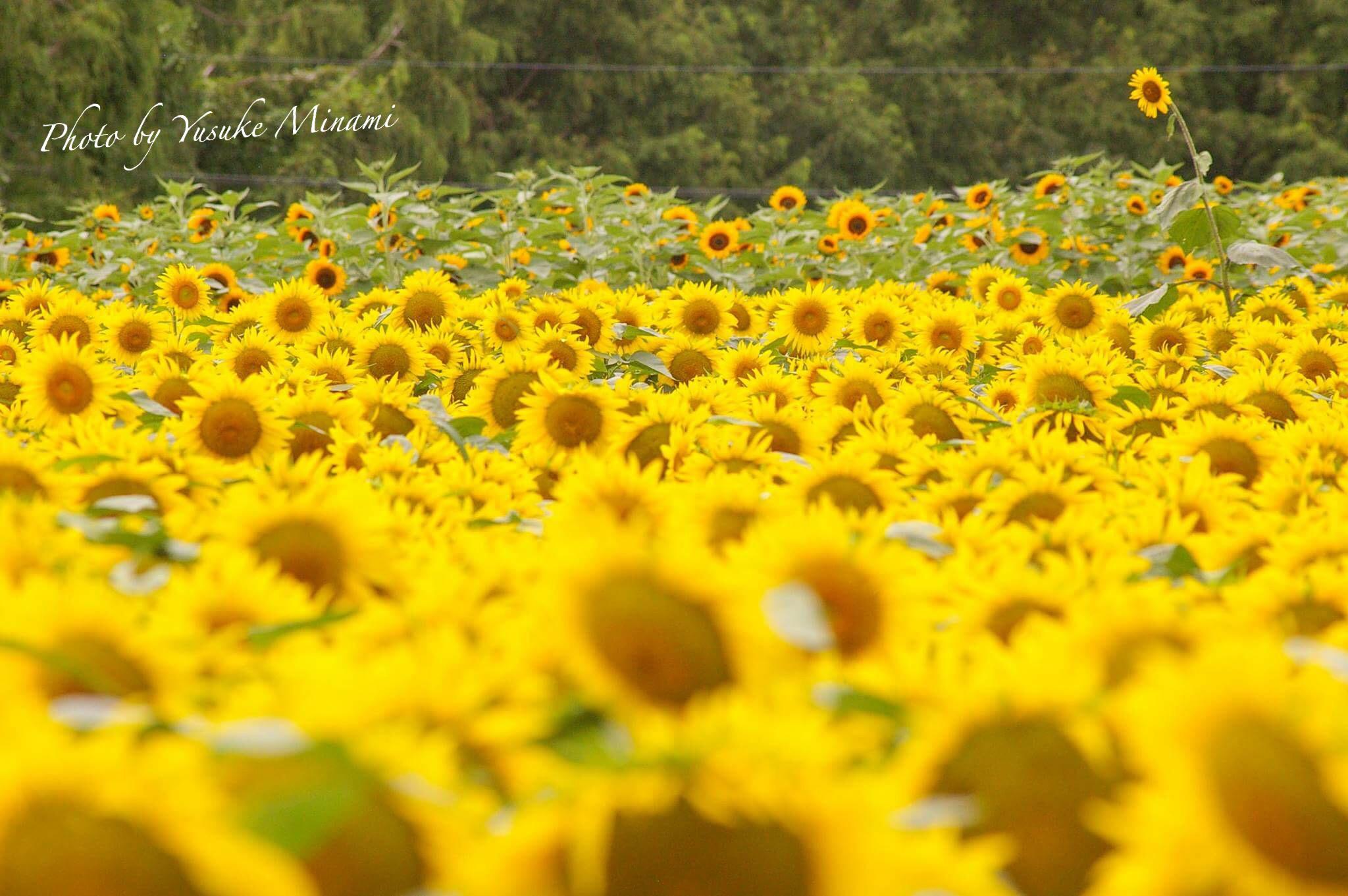 【夏の世羅高原農場2018】満開のひまわりが8月19日まで見ごろ、110万本のひまわりがお出迎え/広島県世羅郡世羅町