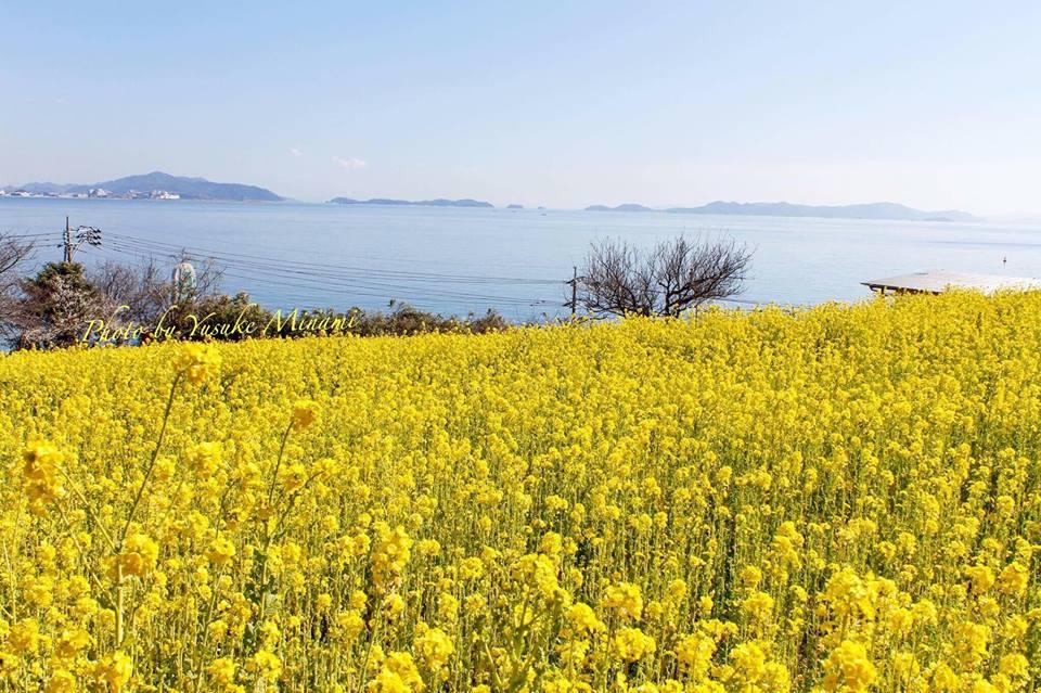 【福山市田尻町の菜の花畑】黄色の絨毯、菜の花まつりは2017年3月12日開催!/広島県福山市田尻町