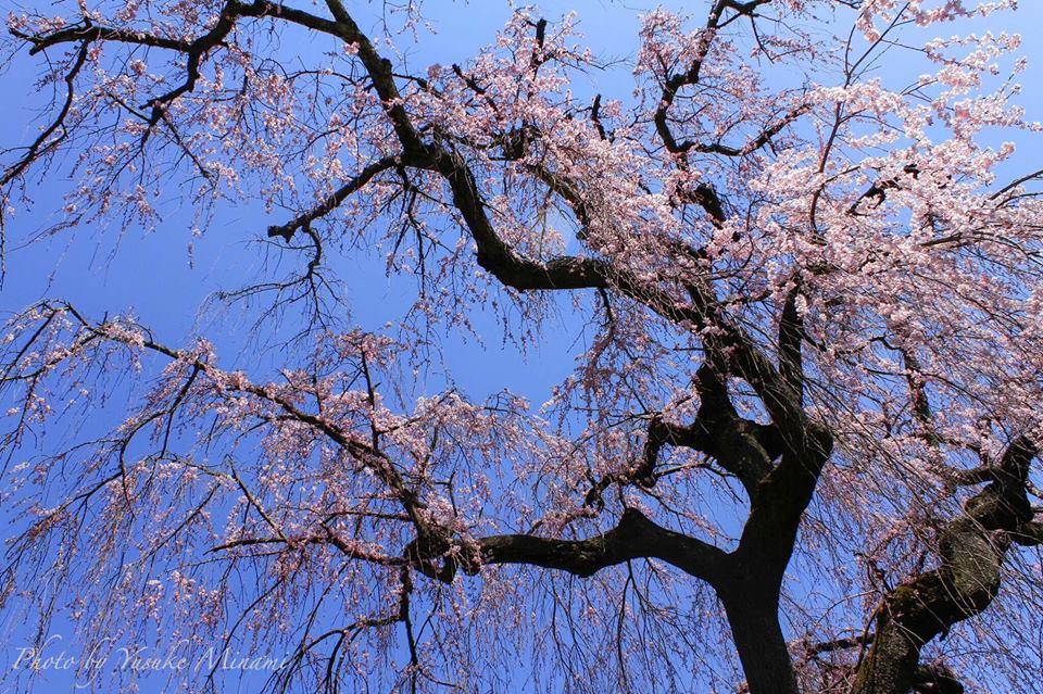 【福泉坊のしだれ桜】 沼隈町にある福泉坊の2017年4月4日現在の桜開花状況は??/広島県福山市