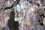 【福山市西桜町桜スポット】 魅了の桜景色、通安寺のしだれ桜/広島県福山市