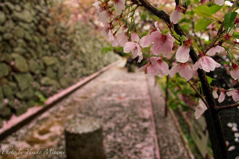 【鞆の浦桜絨毯】 雨と桜が交わる桜みぞれ、医王寺の桜散る雨景色を求めて/広島県福山市