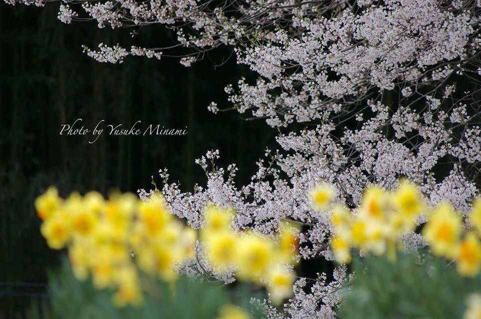 【桜の撮影】 庄原市にある桜スポット、要害桜を撮影しよう/広島県庄原市