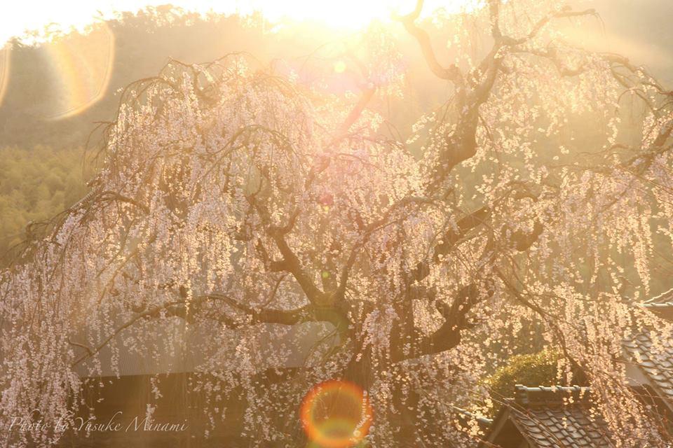 【福泉坊のしだれ桜2019】 沼隈町にある桜の名所で神々しい桜にうっとり!/広島県福山市