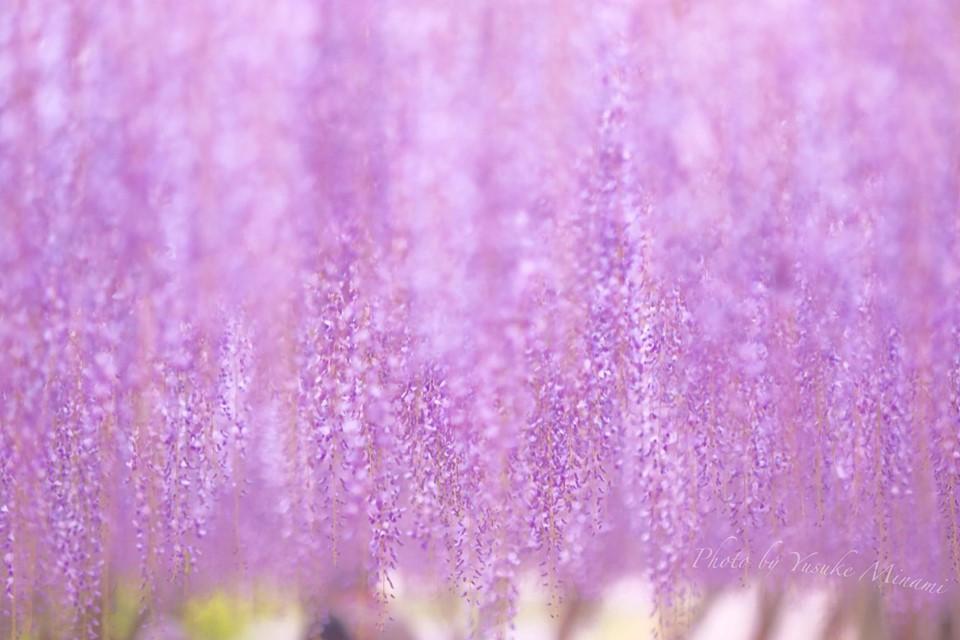 【和気町藤まつり】日本一の藤公園に咲く藤棚が満開、ライトアップされた藤の景色もオススメ!/岡山県和気町