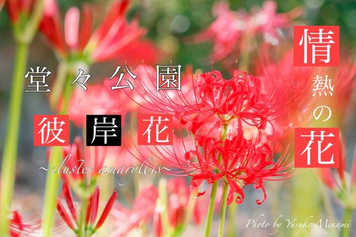 【彼岸花スポット】見頃、福山市神辺町の堂々川公園でヒガンバナを見よう!!/広島県福山市