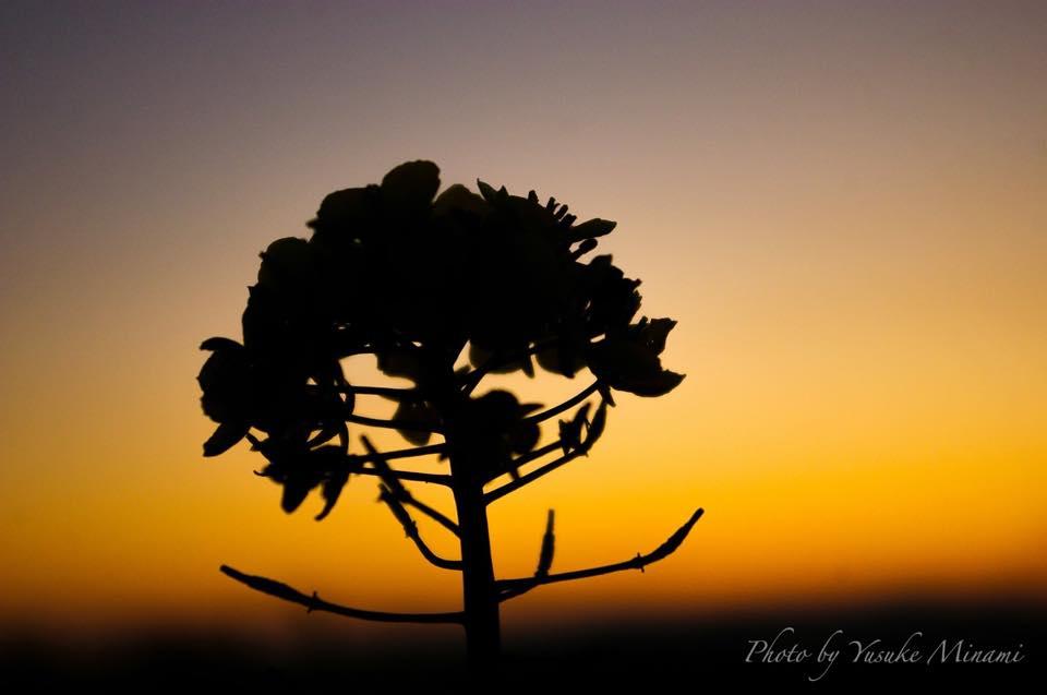【夕景】 笠岡ベイファームの夕暮れ~菜の花畑の見頃は?~/岡山県笠岡市