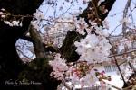 福山市 福山城などの桜の開花状況は!?