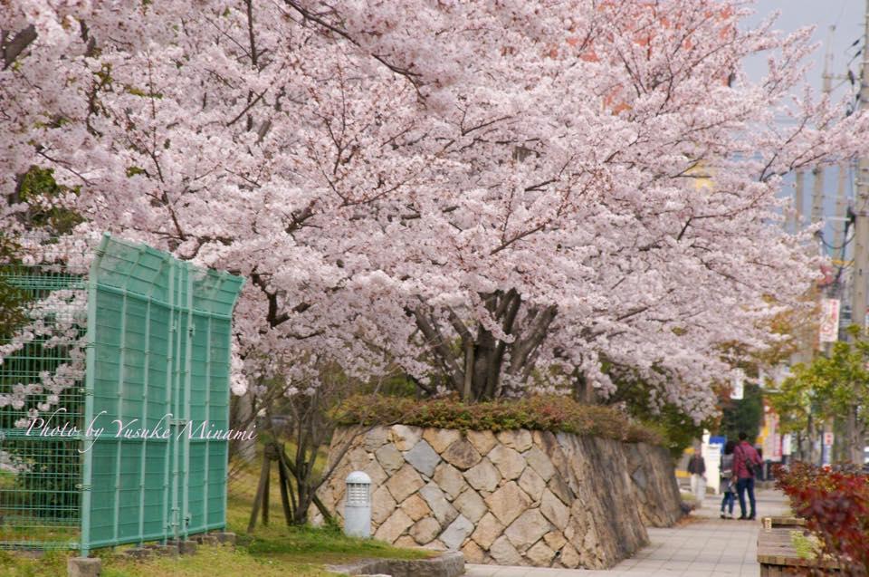 福山市 緑町公園~桜情報 ~/広島県福山市