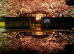 【福山桜名所】 鞆の浦夜桜スポット、 安国寺ライトアップ~雨の夜桜~/広島県福山市