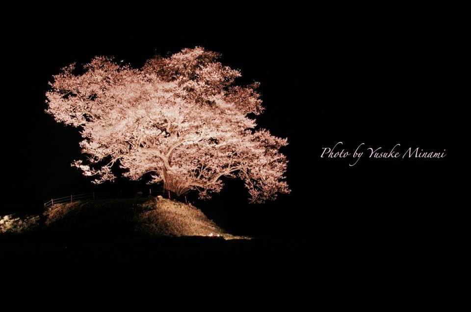 【神石高原の桜スポット 】 神宮寺跡のエドヒガン~ライトアップ夜桜~