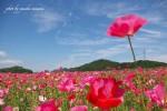 【笠岡市ポピー畑】 5月の笠岡ベイファームに咲く花ポピーの見ごろは?/岡山県笠岡市