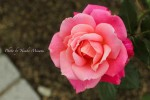 福山市、ばら公園の薔薇が見頃~ばらの季節~/広島県福山市