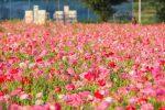 【夕暮れのポピー畑】笠岡ベイファームで季節の花、満開のポピーを見に行こう!!/岡山県笠岡市