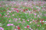 【秋の花】 2016年笠岡ベイファームに咲くコスモスの見ごろはいつ?/笠岡ベイファーム(岡山県笠岡市)
