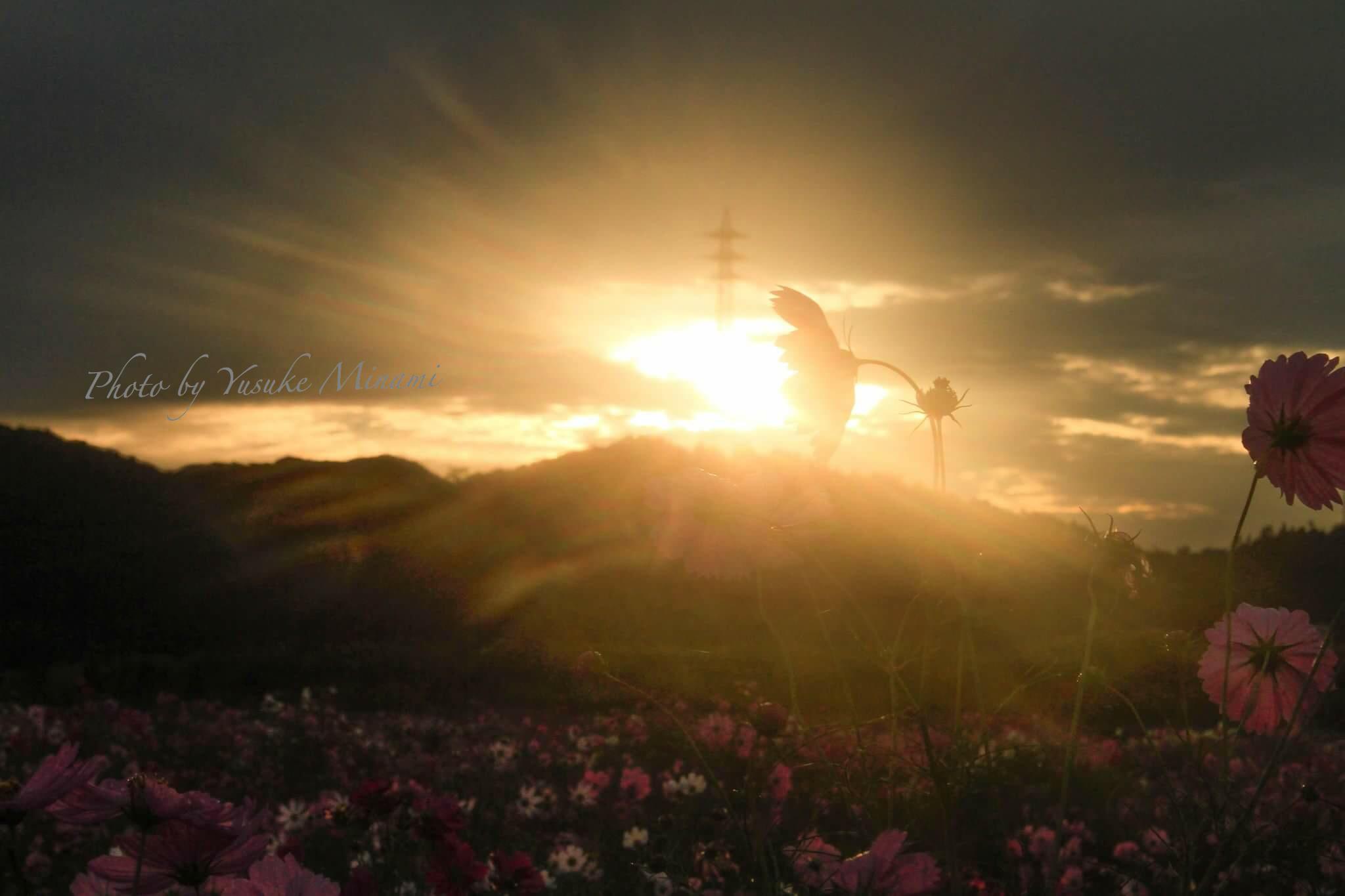 【満開】 コスモスが見ごろの朝の干拓地を撮影/笠岡ベイファーム(岡山県笠岡市)