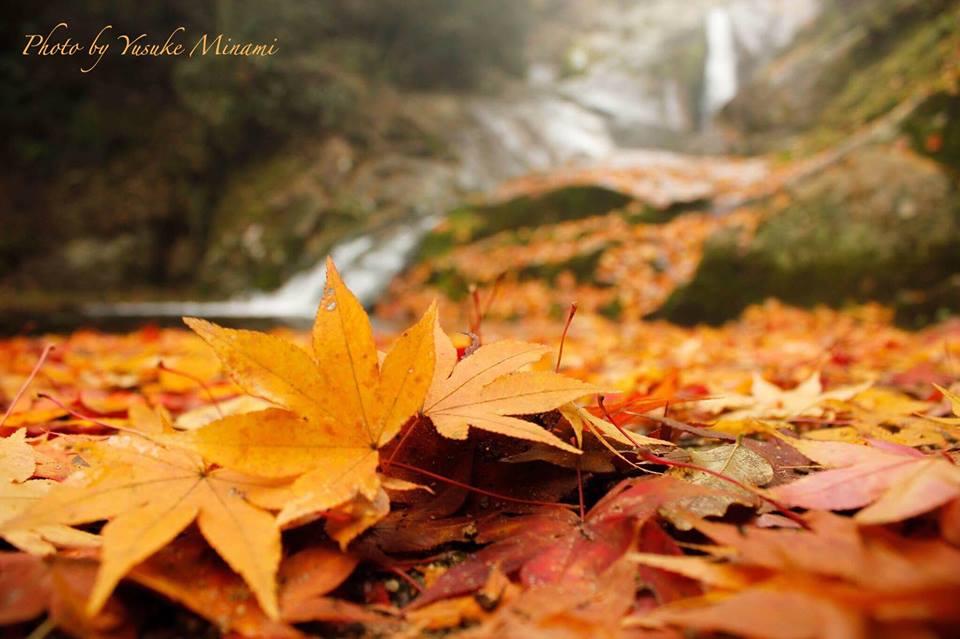 【紅葉絨毯】 三郎の滝に広がるレッドカーペット/広島県府中市