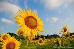 【ひまわり畑撮影】笠岡ベイファームのヒマワリの見頃は?初心者でも向日葵をアートに撮る方法!