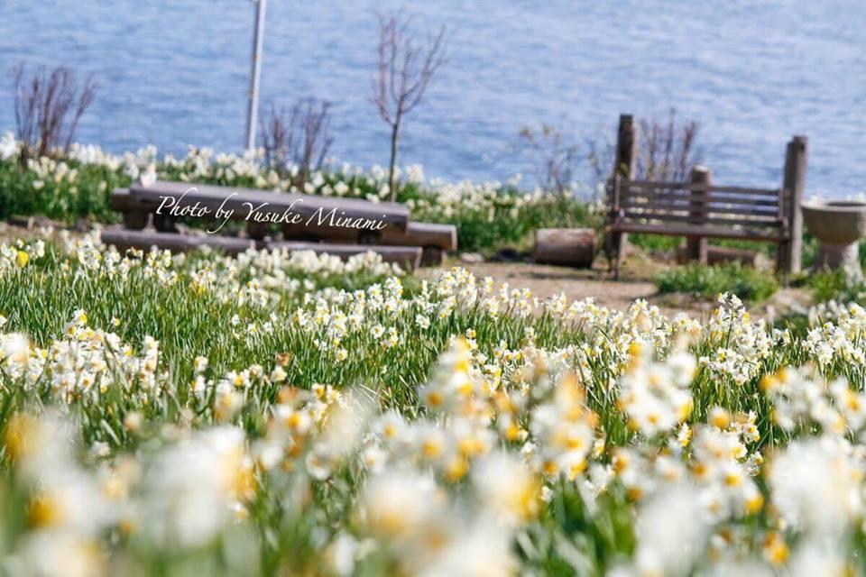 【福山やぶ椿と水仙の里】 内海観光、10万本の水仙の花は2月が見頃!/広島県福山市内海町