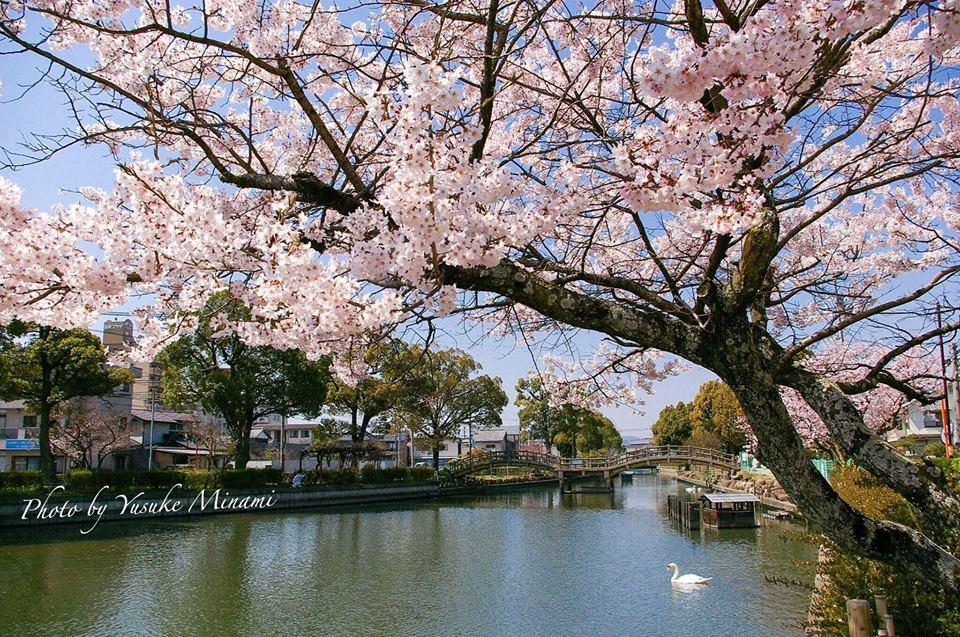 【どんどん池の春】 開花一番、木之庄町にある蓮池公園の桜/広島県福山市