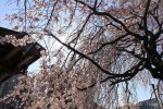 【福山市桜開花情報2017】 福山城などの桜の状況(4月3日)は??~お花見シーズン~/広島県福山市