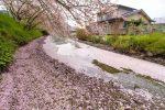 【千年橋の花筏】 千年橋の川が桜色に?散りゆく桜の美しさ、その景色とは?/広島県福山市