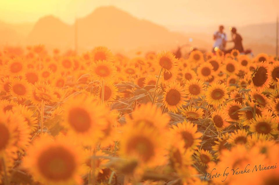 笠岡ベイファーム、第3弾のひまわり畑で向日葵が満開、見ごろを迎えています!/岡山県笠岡市