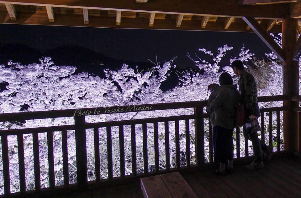 【筆影山の夜桜】ライトアップされた桜の雰囲気がとても良い!/広島県三原市