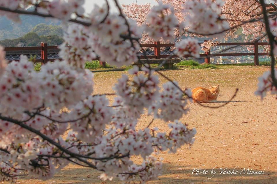 【尾道共楽園の桜】尾道は猫の聖地、ねこ公園の桜景色!/広島県尾道市