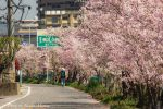 【尾道桜土手】1.7キロの桜並木、春の尾道を散歩するならここ!/広島県尾道市