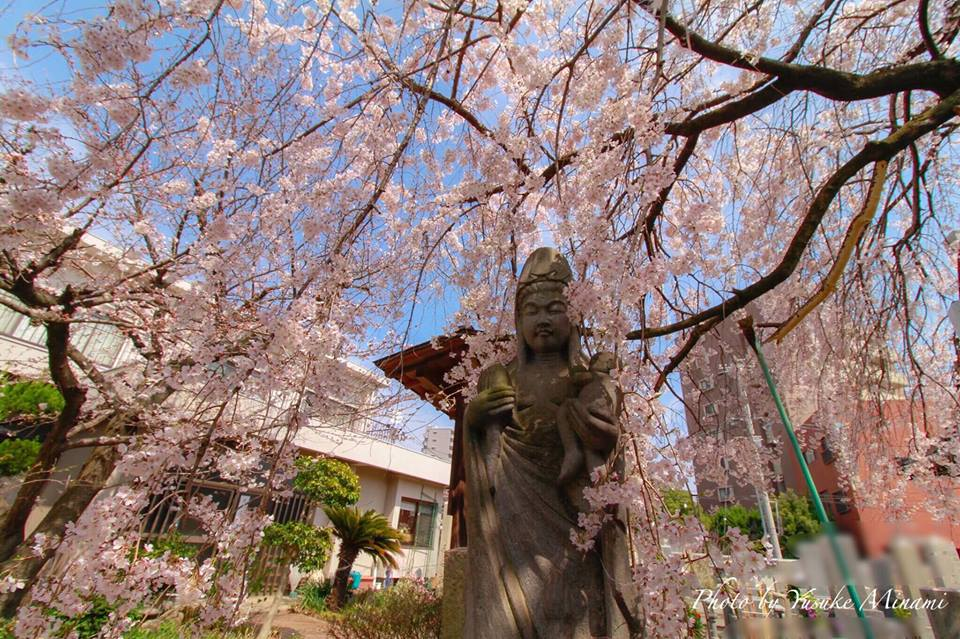 【通安寺の桜】今が見頃、福山市の桜満開一番はここ!ライトアップされたしだれ桜にうっとり!/広島県福山市