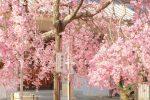 尾道市のしだれ桜スポット天寧寺!三重塔からの景色も紹介!/広島県尾道市