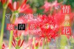 【彼岸花スポット】見頃は9月?福山市神辺町の堂々川公園でヒガンバナを見よう!!/広島県福山市