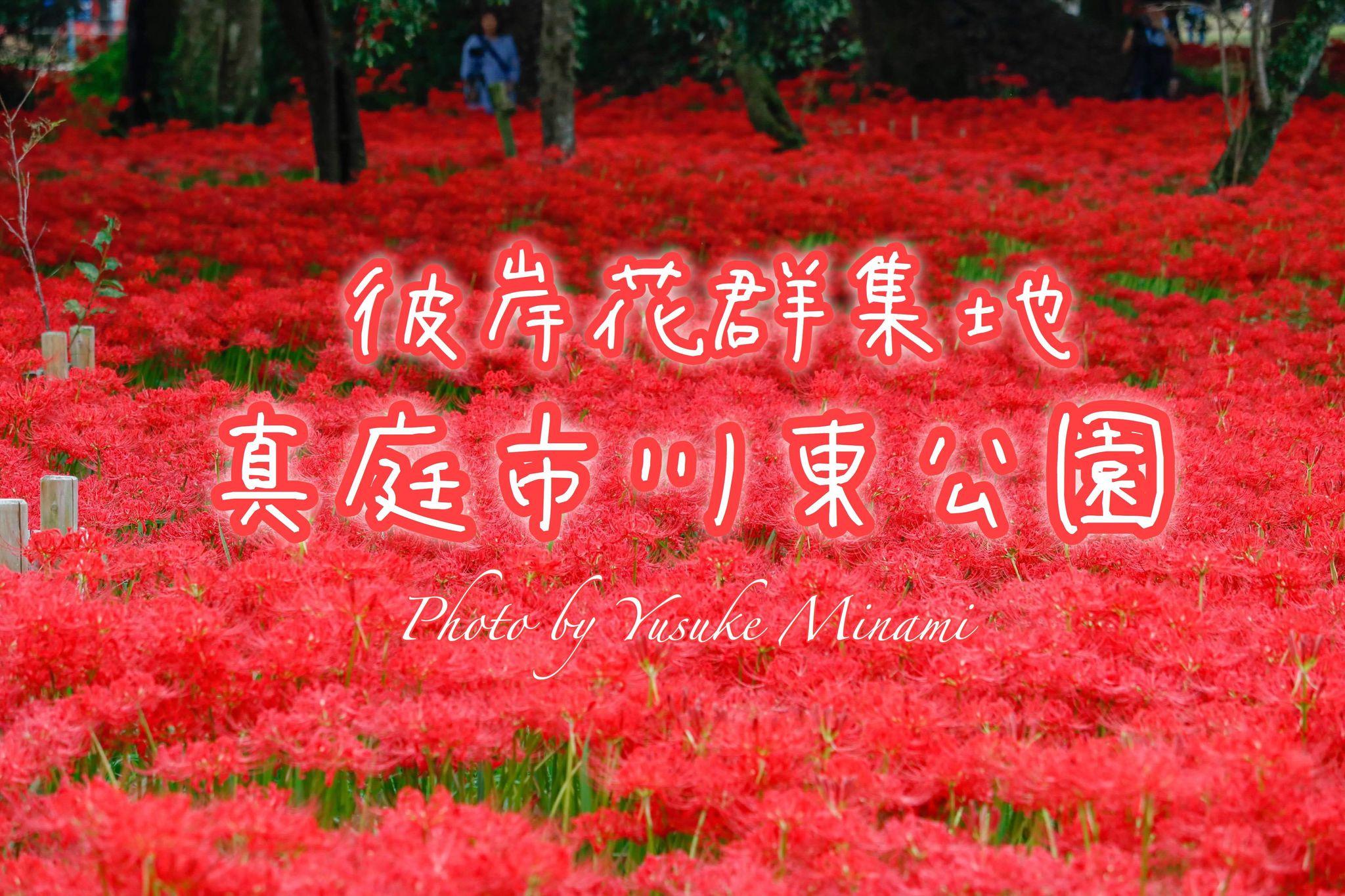 【真庭市川東公園】彼岸花群生地の見頃はいつ?曼殊沙華の赤絨毯の景色!/岡山県真庭市